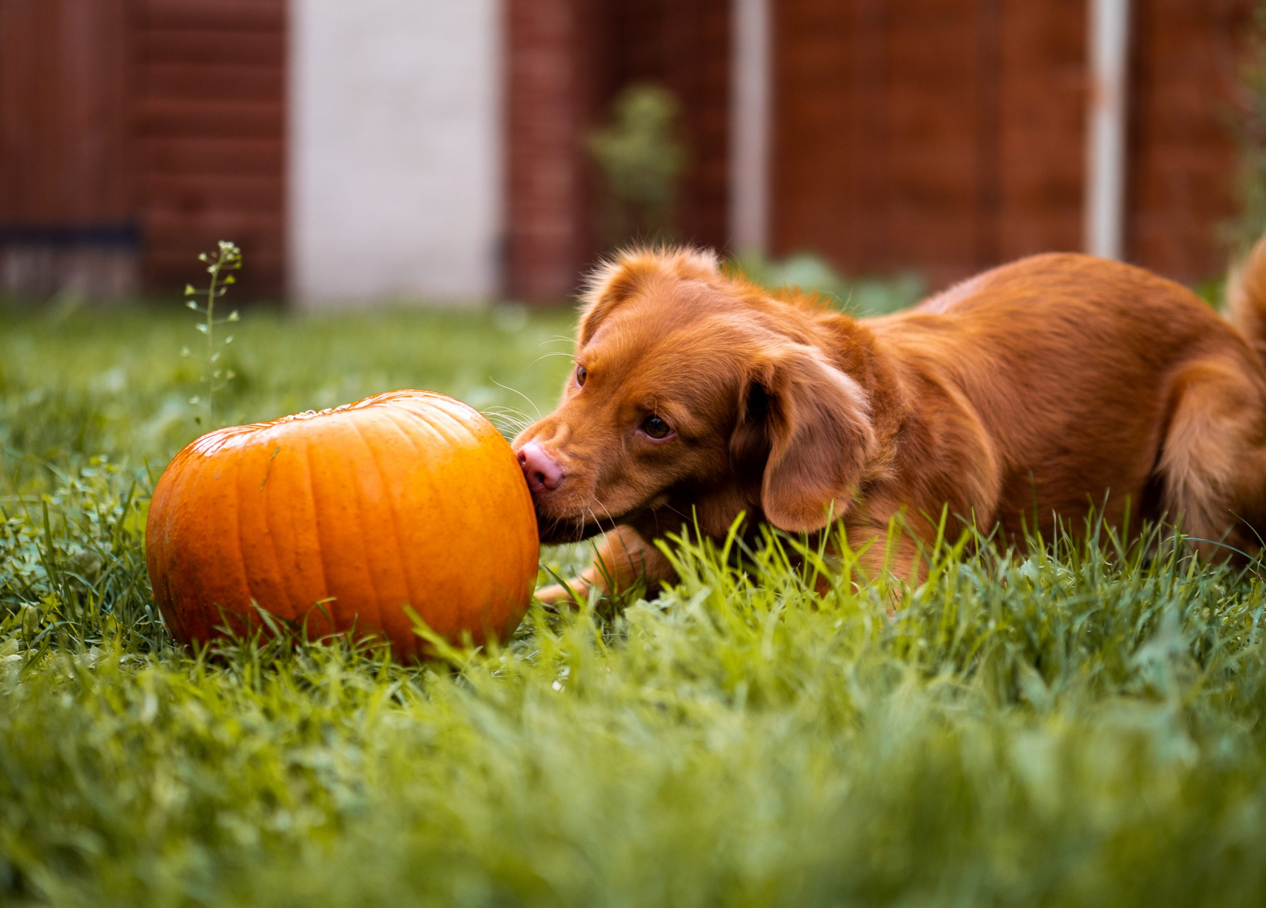 The Many Benefits of Pumpkin for Dogs